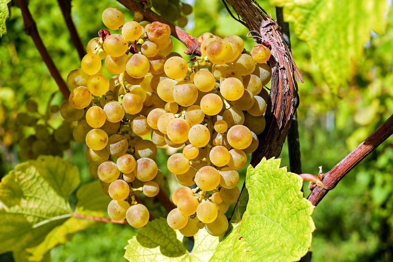 raisin et vigne en biodynamie