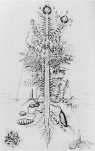 urpflanze Goethe